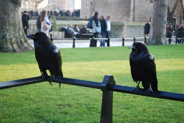 Corbeau Tour de Londres