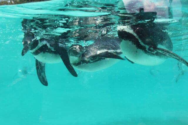 ZSL Zoo London Pingouins
