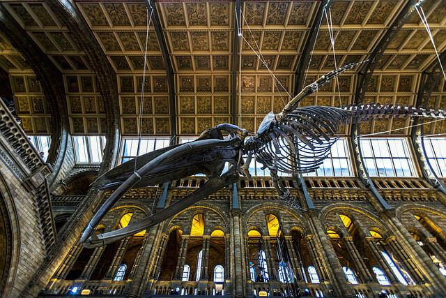 Musee Histoire Naturelle Londres Baleine