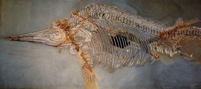 Fossile ichtyosaures musée histoire naturelle